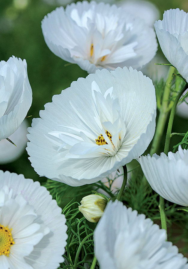 Cosmos-Cupcakes_Double-Pure-White_TMHF-14