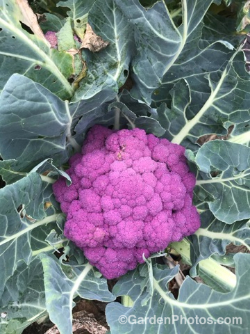 Cauliflower Depurple gp