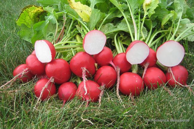 Award-winning radish 'Roxanne'