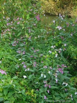 Impatiens glandulifera, Himalayan balsam, growing by the River Wey in Surrey. Image ©GardenPhotos.com
