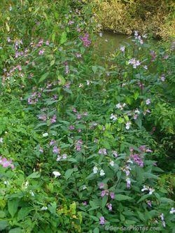 Impatiens glandulifera, Himalayan balsam, growing by the River Wey in Surrey. Image ©GardenPhotos.com