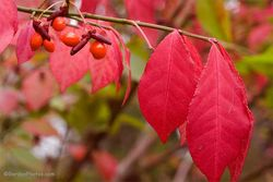 Euonymus alatus fruits and autumn foliage. Image ©GardenPhotos.com