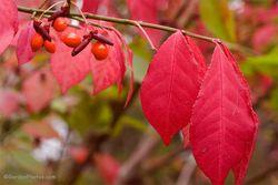Euonymus alatus fruits and autumn foliage. Image ©GardenPhotos.com