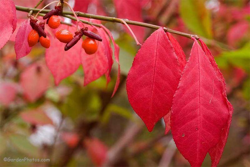 EuonymusalatusFruitsFoliage