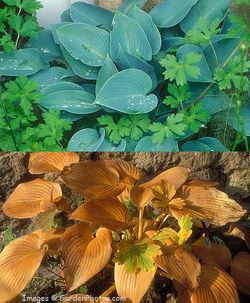 Hosta-Halcyon-2UP-700