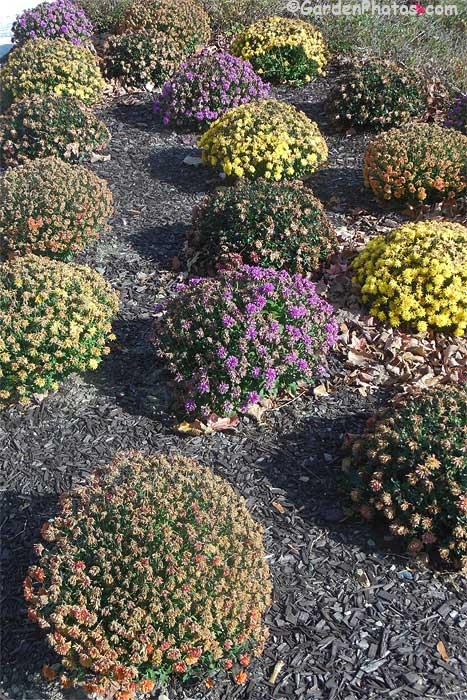 ChrysanthemumPoconoMedicalCenterAfter