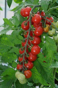 Tomato 'Sweet-Aperitif' was top in the UK taste test