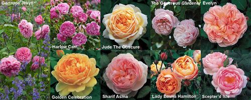 Fragrant English Roses from David Austin that thrive in the USA and the UK. Images © David Austin Roses