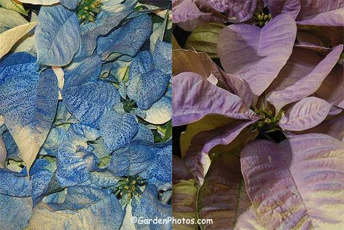 Hideous blue and lilac poinsettias. Images ©GardenPhotos.com