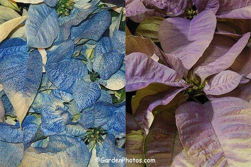 Hideous blue and lilac poinsettias. Images ©GardenPhotos.com