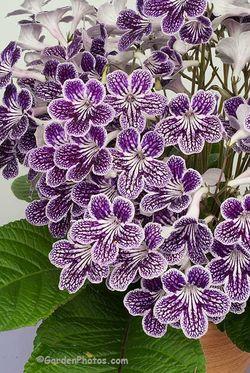 Salpiglossis 'Polka-Dot Purple' Image ©GardenPhotos.com