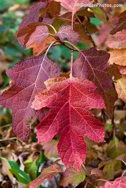 Hydrangea-quercifolia-Little-Honey-_J037665-700