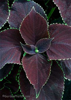 'Chocolate Mint' coleus. Image ©GardenPhotos.com