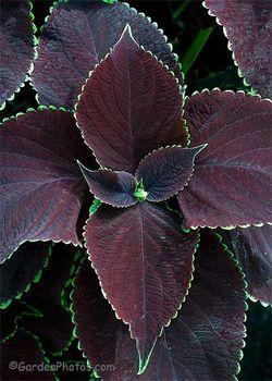 'Chocolate Mint' coleus. Image ©GardenPhotos.com