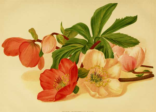HelleborusGiant-TheGarden-1878