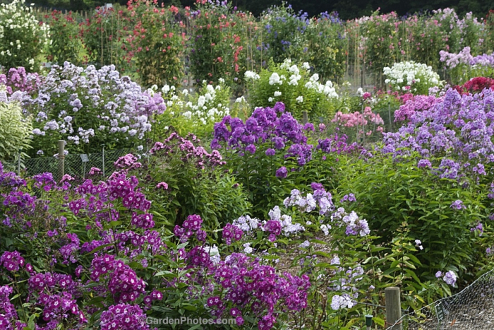 Phlox and Sweet Pea Trials at the Royal Horticultural Society's garden at Wisley, near London. Image ©GardenPhotos.com