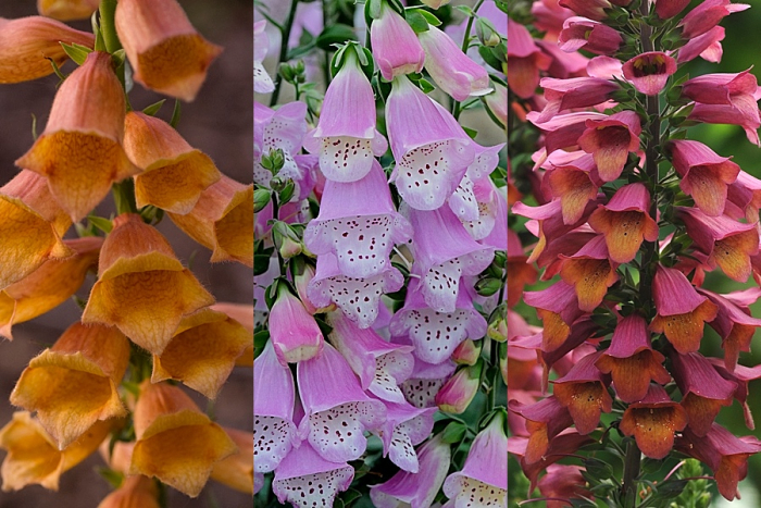 Digitalis Goldcrest (left), Knee High Lavender and Foxlight Ruby Glow
