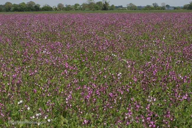 A field of red campion, Silene dioica, with a few hybrids. Image ©GardenPhotos.com