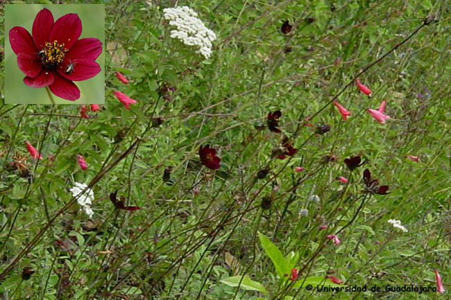 Chocolate cosmos growing in the wild in Mexico. © Universidad de Guadalajara