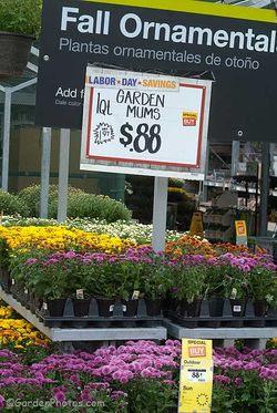 At 88 cents/50 pence each these chrysanthemums are just too cheap. Image ©GardenPhotos.com