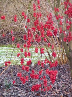 Viburnum betulifolium dripping with berries. Image ©GardenPhotos.com