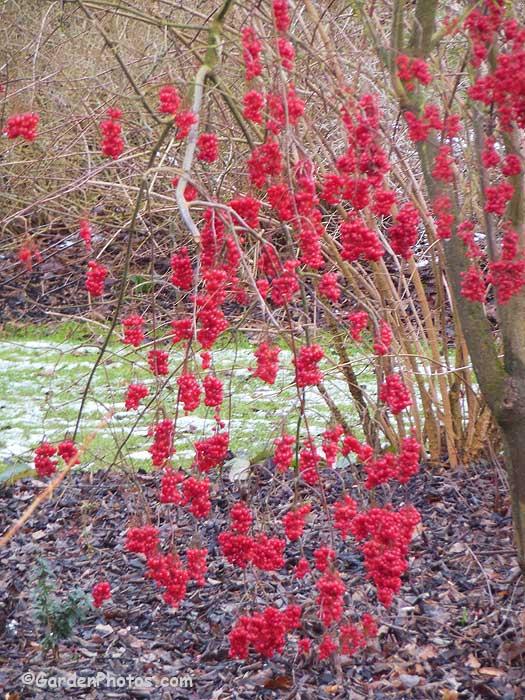 Viburnumbetulifolium