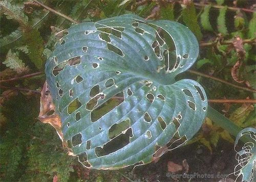 Slug resistant(!) Hosta 'Brother Ronald' destroyed by slugs. mage ©GardenPhotos.com