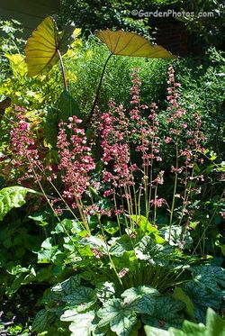 Heuchera 'Berry Timeless' is a container in partial shade. Image © GardenPhotos.com