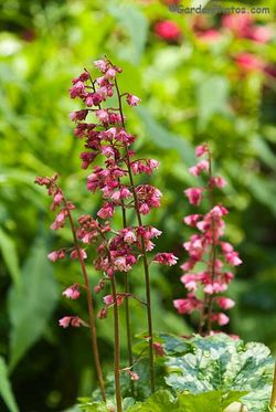 Old and new flowers on Heuchera 'Berry Timeless'. Image © GardenPhotos.com