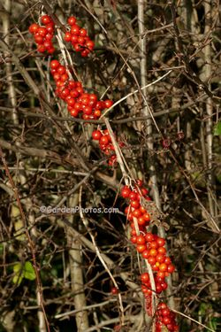 Black bryony, Tamus communis, in a Northamptonshire hedgerow. Image © GardenPhotos.com