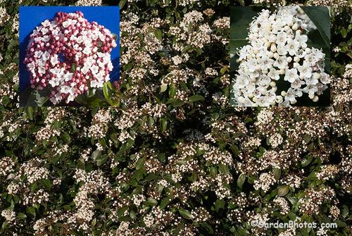 Viburnum tinus 'Lisarose' and 'Purpureum'. Image ©GardenPhotos.com
