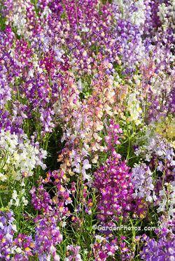 Linaria 'Fairy Bouquet'. Image ©GardenPhotos.com