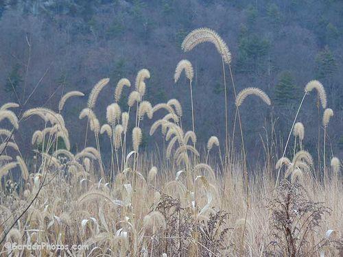 Foxtail grass, Setaria, still looking lovely on the Delaware River flood plain. Image ©GardenPhotos.com