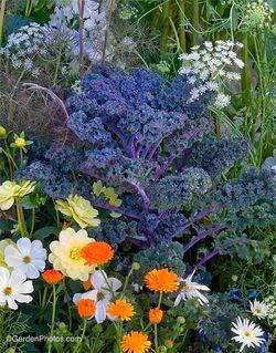 Kale 'Redbor'. Image ©GardenPhotos.com
