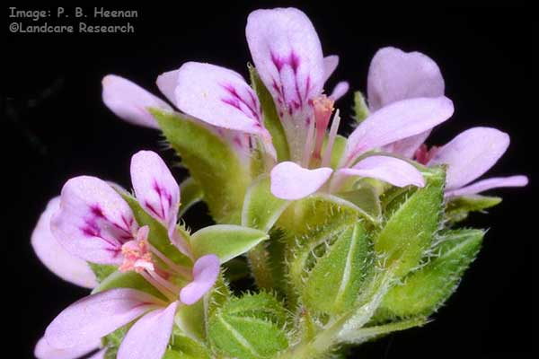 PelargoniumInodorum600