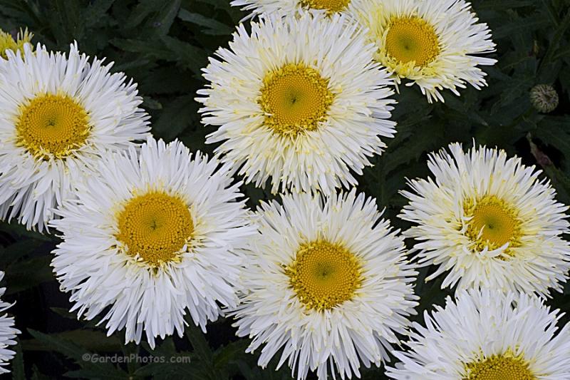 Leucanthemum-Real-Galaxy-_G022410-1