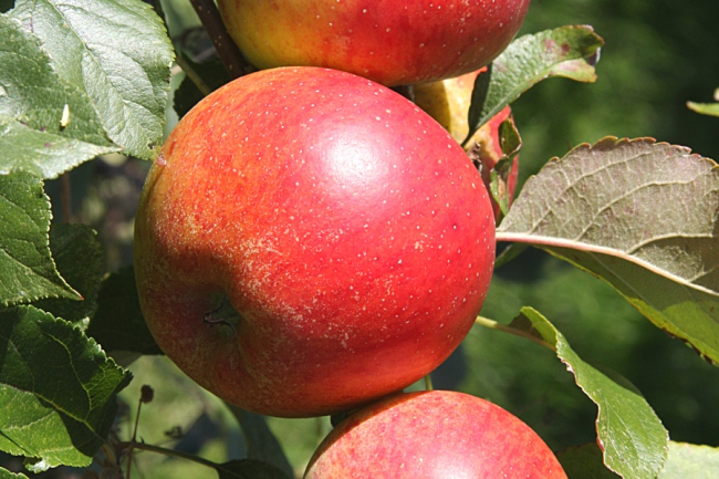 Apple 'Christmas Pippin'. Image ©Pomona Fruits