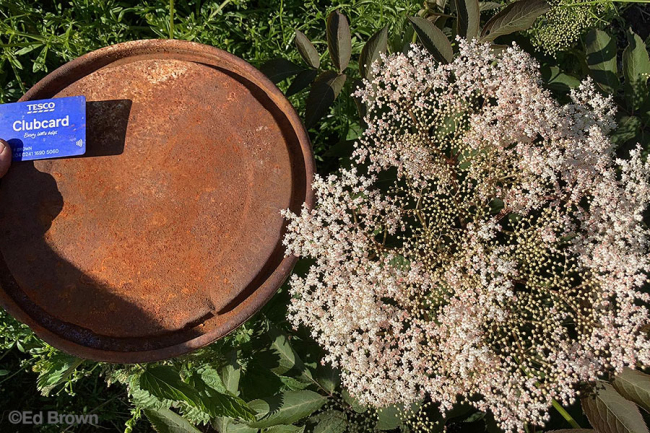 Sambucus 'Gate In Field' with dustbin lid ©EdBrown