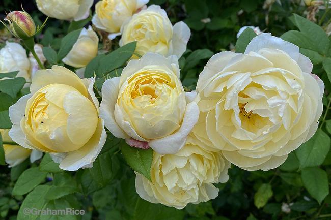 RoseVanessaBell-IMG_0025-copy