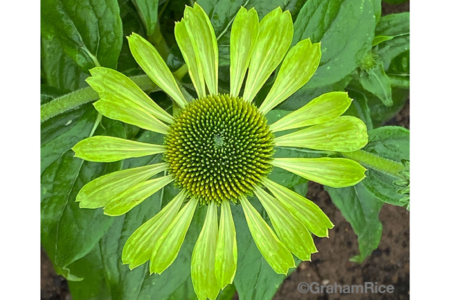 Green flowered echinacea in the 2021 Fleuroselect trial