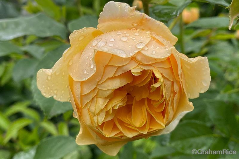 RoseGrahamThomas-IMG_0129-copy