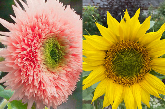 Sunflowers: Fake double pink and what the seed produced