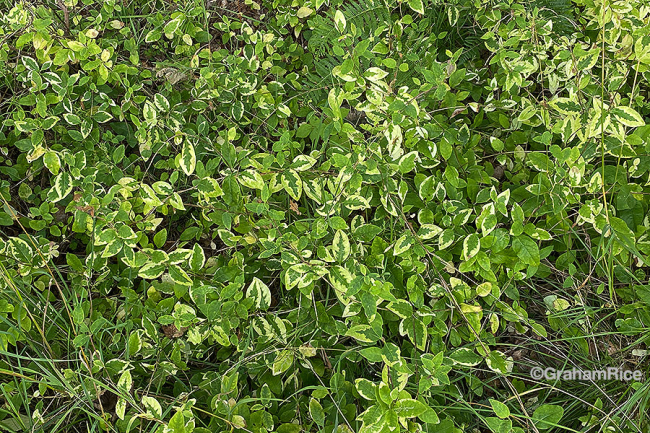 Lonicera periclymenum with mysterious variegation
