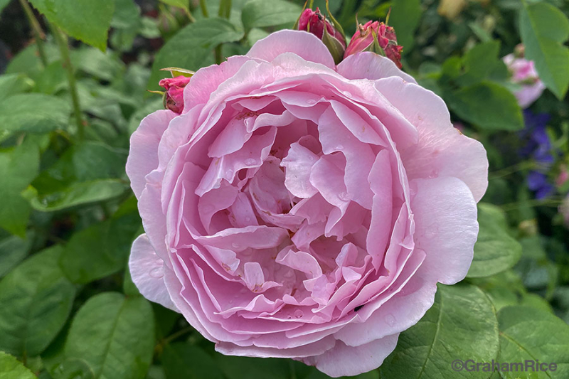RoseMaryRose-IMG_0045-copy