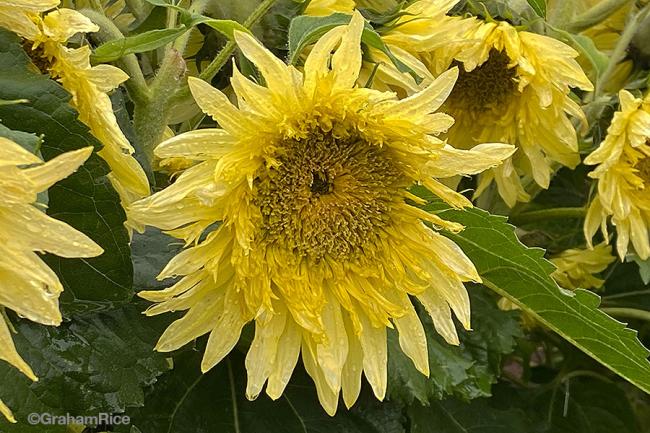Space-alien Helianthus, sunflower, in the 2021 Fleuroselect trial